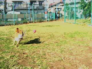 (1)道路と化した公園でボールを追うラッキー